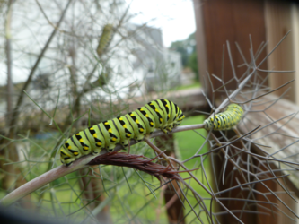 Fennel Caterpillars