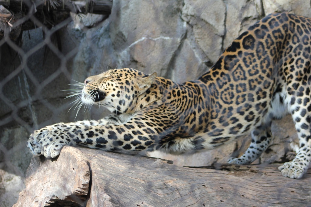 Stretching Spotted Leopard