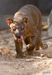 Prowling fosa