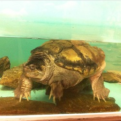 Yertle the snapping turtle