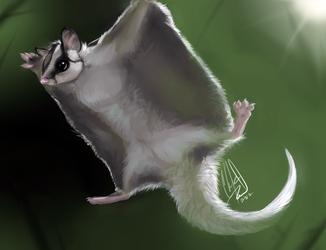 Animal Portrait 12 - Sugar Glider