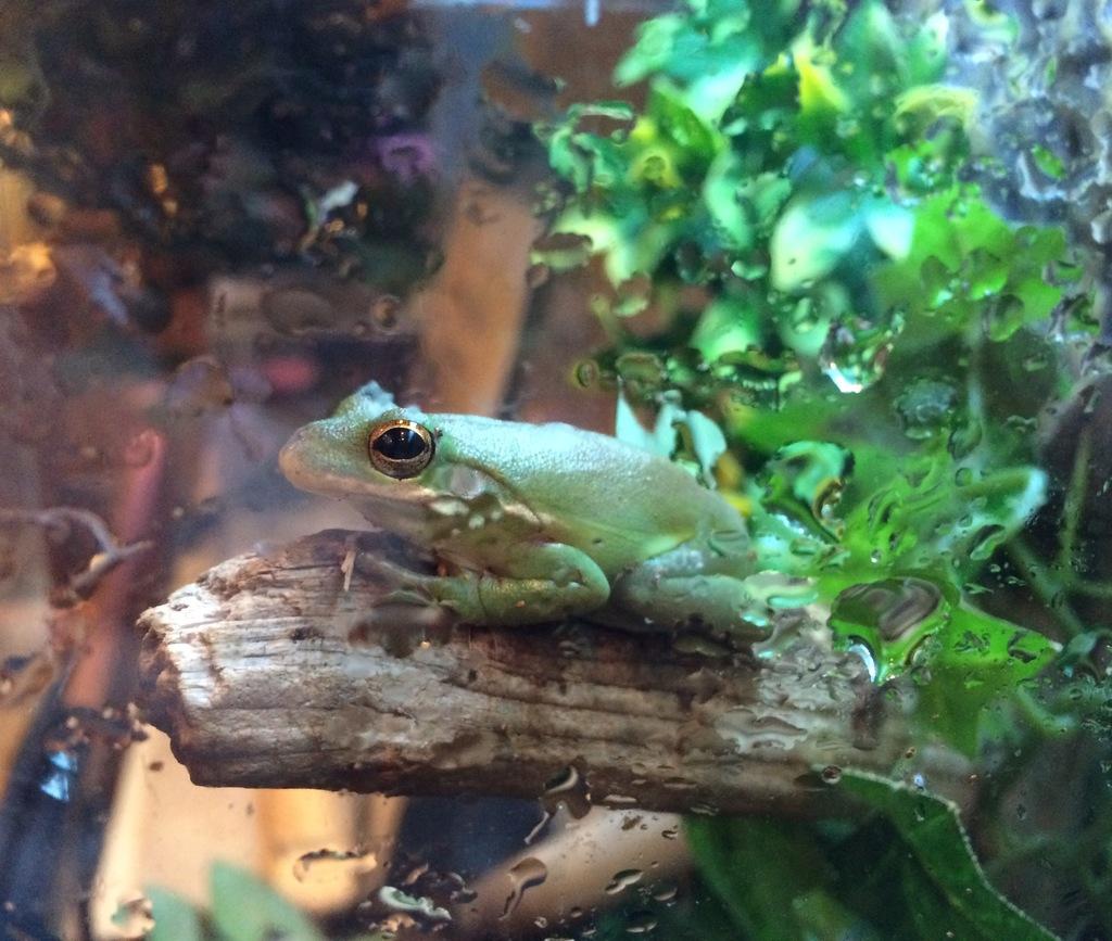 Kermit the tree frog
