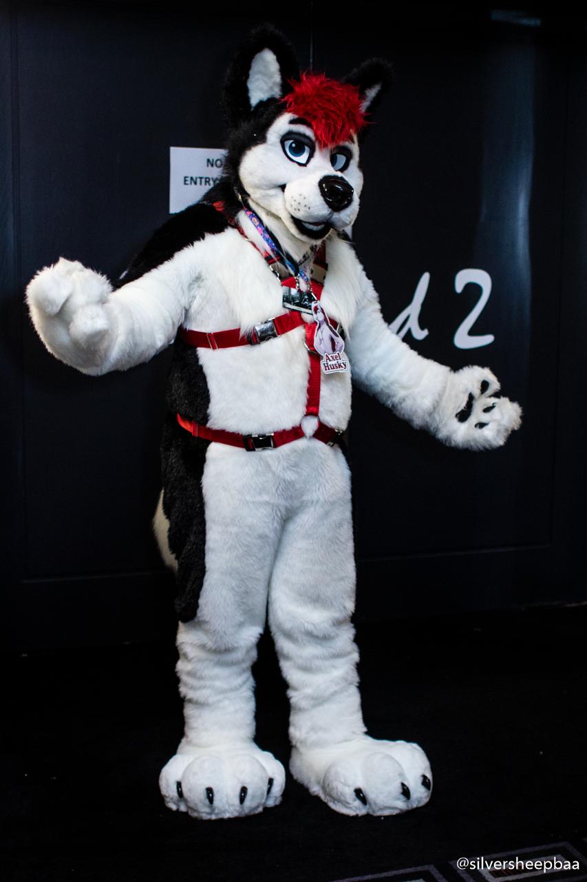 FurDU 2018: Harnessed Husky