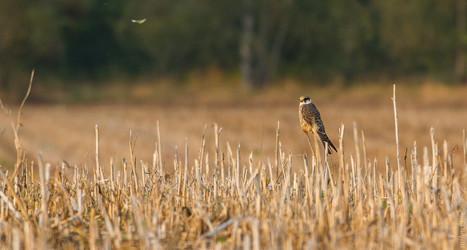 Fabolous Falcon