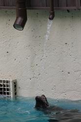 Drinking Seal