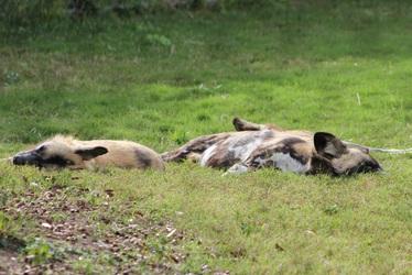 Sleepy African Wild Dogs