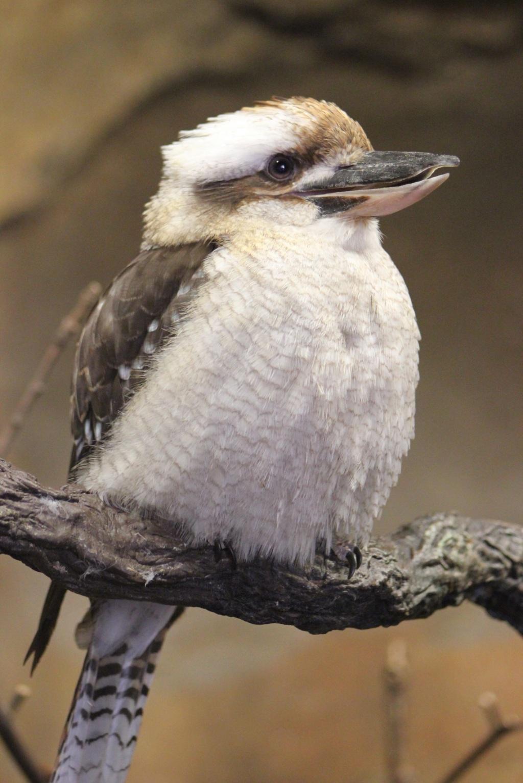 Puffy Kookaburra