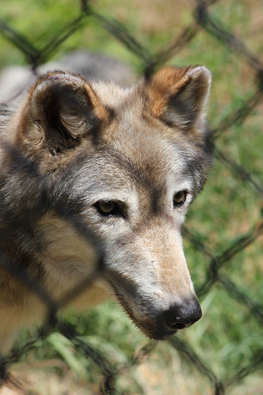 Wolf Fence