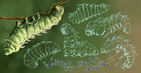 WeeklyStudies #133 Atlas Moth Caterpillar