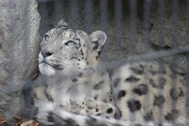 More Snow Leopard