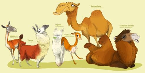 Camelidae