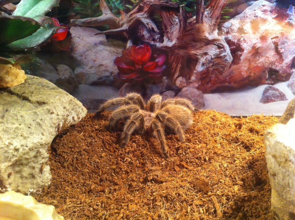 Rosie the tarantula