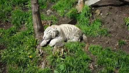 The White Tigers of Kernhof ~ 5