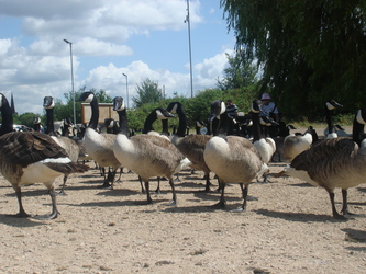 Geese Army