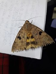 Flutter The Moth [2 of 2]