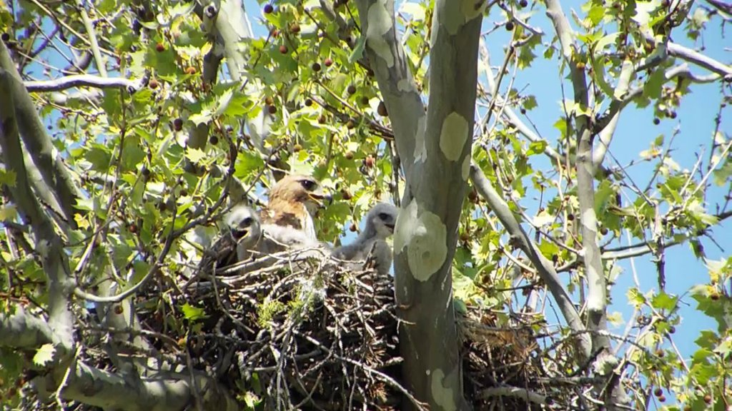 Penn Valley Hawk Nest Mom with 2 Bobbles