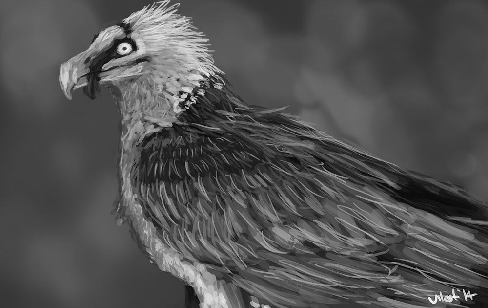 Most recent image: Bearded Vulture