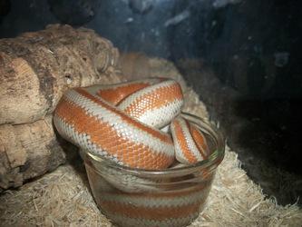 Snake Water 2
