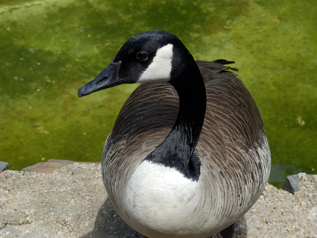 Featured image: Another Goose!