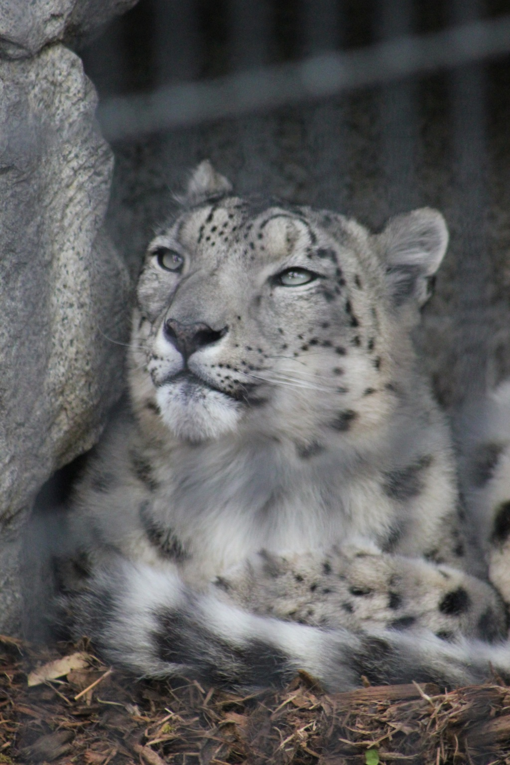 Denver Snow Leopard