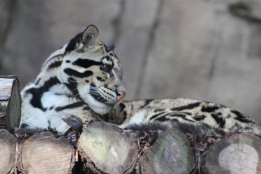 Resting Clouded Leopard