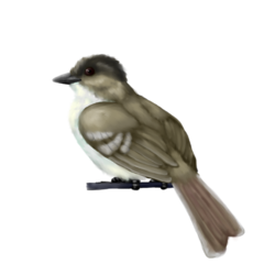 Crested Flycatcher
