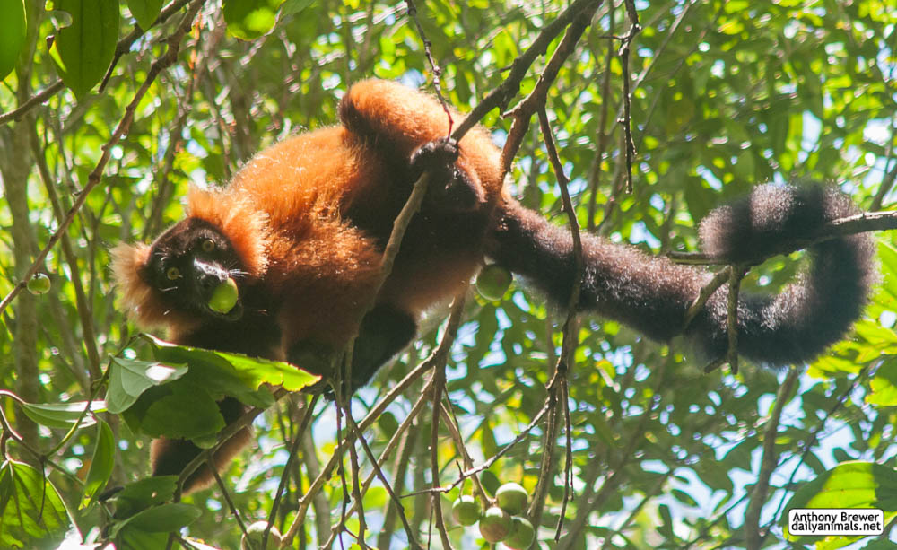 Highly endangered lemur