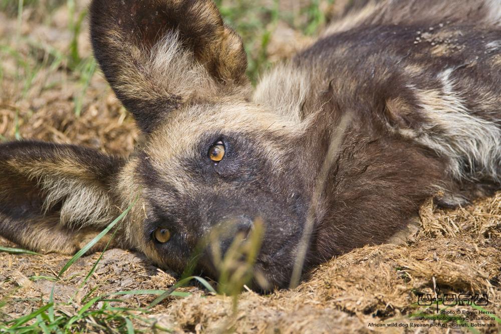 Savuti Wild Dogs #3