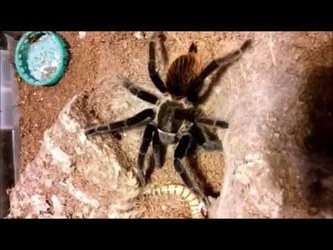 Tarantula feeding video - 4