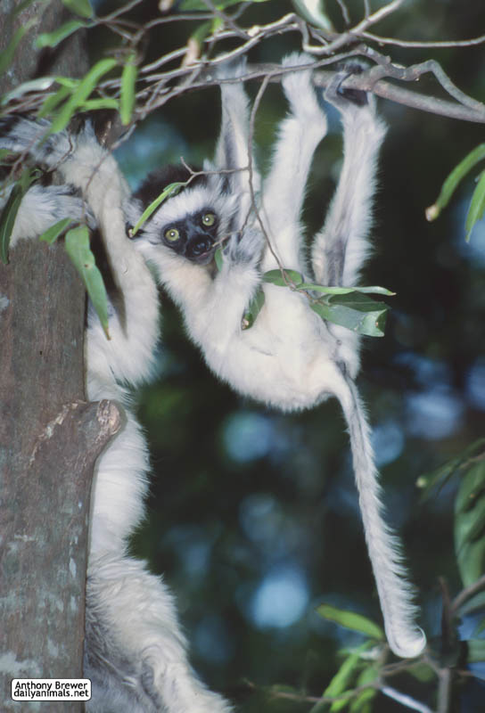 Baby sifaka hanging about