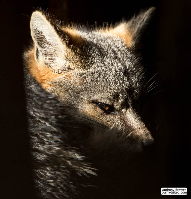 Fox in a sunbeam
