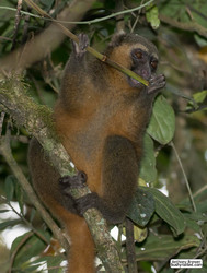 Golden bamboo lemur