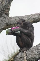 Chimp Lunch