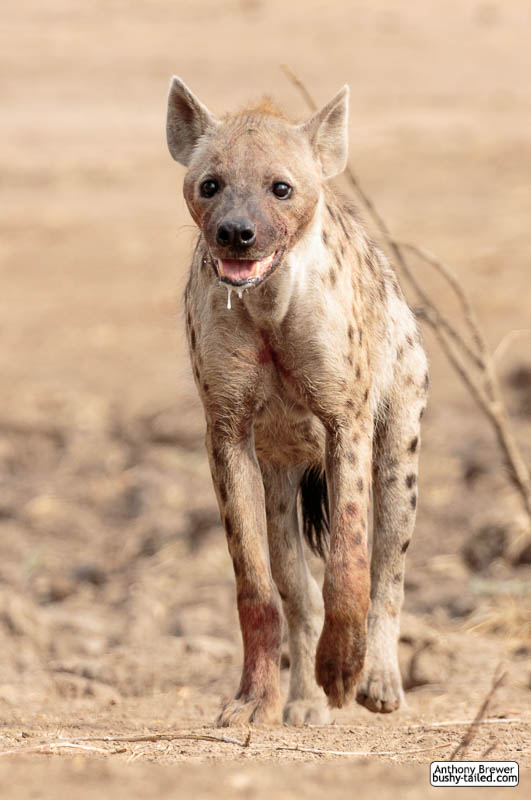 Hyena at Mana Pools