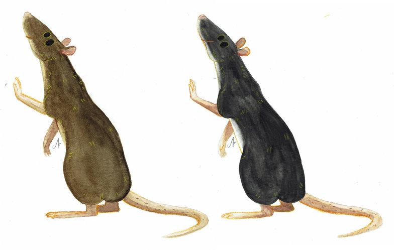 Brown Rat and Black Rat