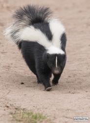 Skunk has right of way