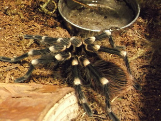 Freshly molted Acanthoscurria Geniculata