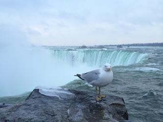 Niagara Falls and a posing gull