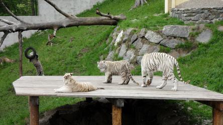 The White Tigers of Kernhof ~ 3
