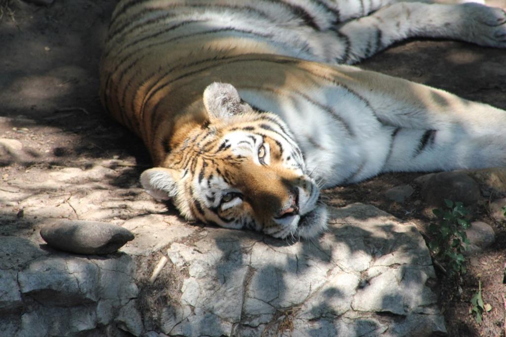 Tiger Naps