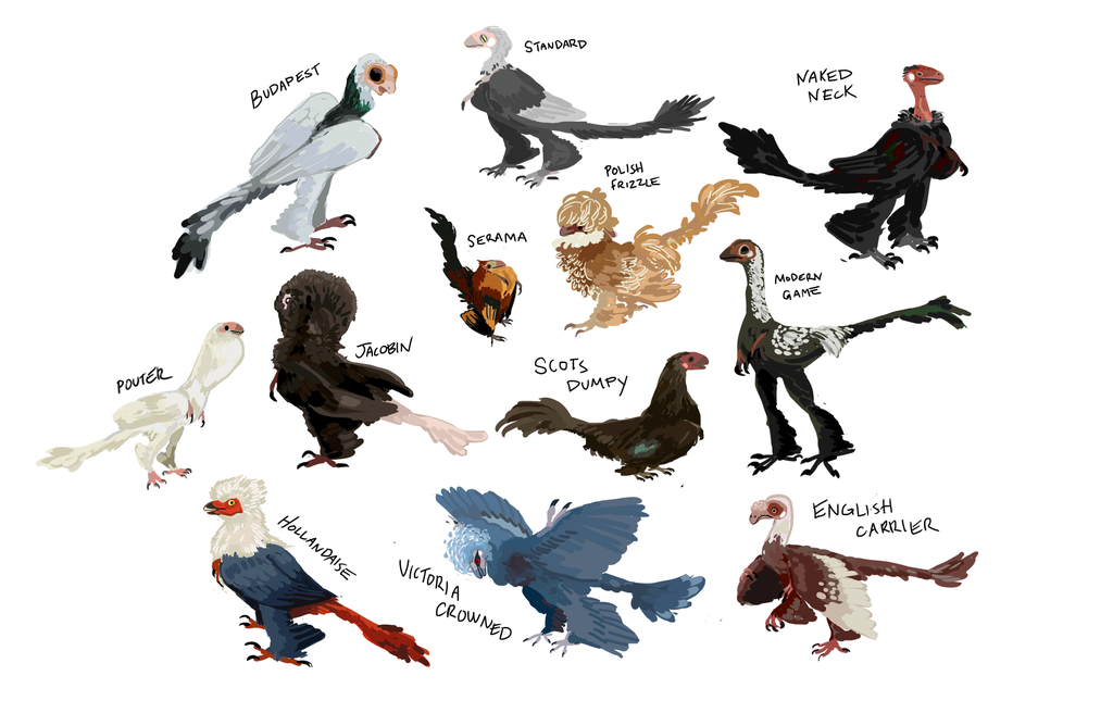 microraptors as fancy chickens and pigeons