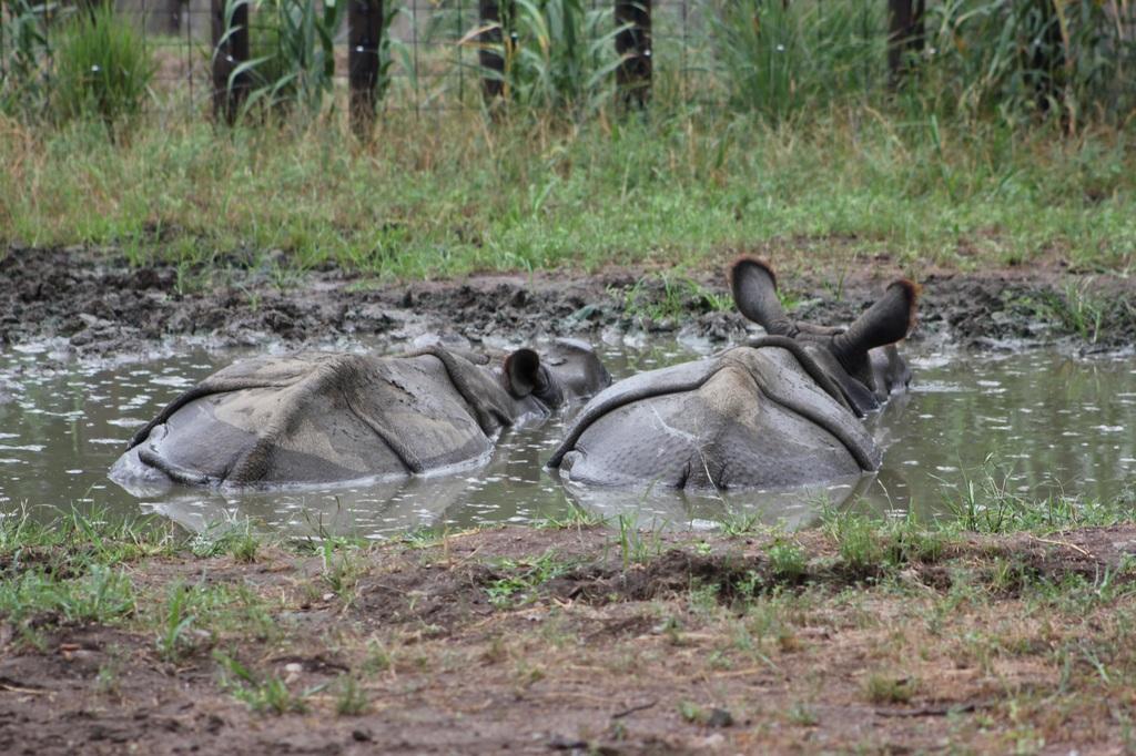 Wading Rhinos