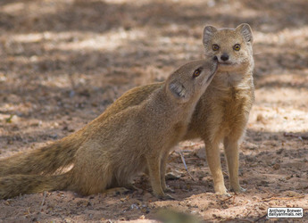 Mongoose nuzzles