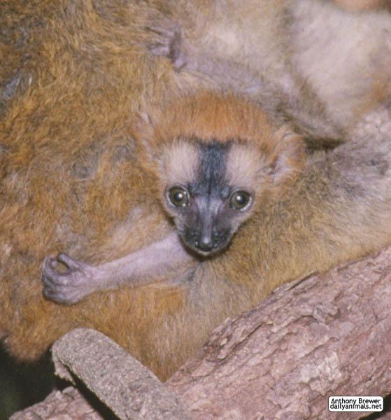 Very baby lemur