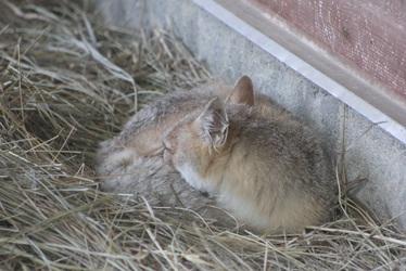 Fluffy Fox Tail