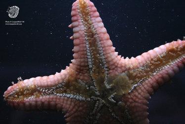 Starfish - Detailed Underside