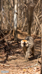 Walk like a lemur