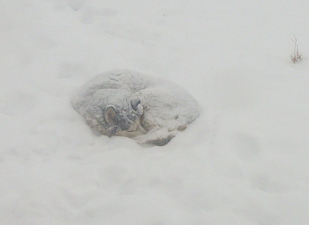 Snowcovered Dog (small pic)