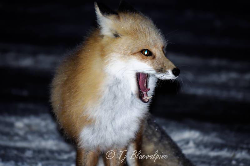 Red Fox Yawn