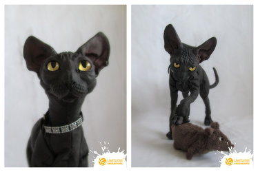 5/5 Sphynx Cat by limitlessendeavours